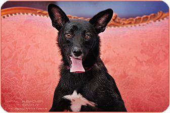 Border Collie/German Shepherd Dog Mix Dog for adoption in Cincinnati, Ohio - Roxie- WAIVED FEE