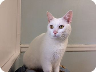 Domestic Shorthair Cat for adoption in Chicago, Illinois - Luna Lovegood
