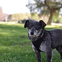 Adopt A Pet :: Misha - Los Angeles, CA