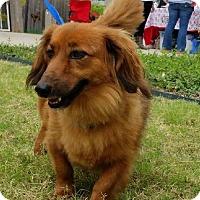 Adopt A Pet :: Elvis - McKinney, TX