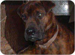 Shar Pei Mix Dog for adoption in Metamora, Indiana - Taylor