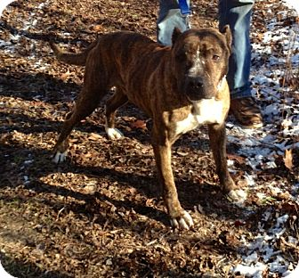 American Staffordshire Terrier/Pit Bull Terrier Mix Dog for adoption in Chicago, Illinois - Butch