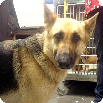 German Shepherd Dog Dog for adoption in Greencastle, North Carolina - Miley
