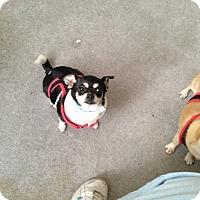 Adopt A Pet :: Sweetie - Everett, WA