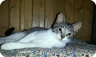 Domestic Shorthair Cat for adoption in Grand Ledge, Michigan - Fellows