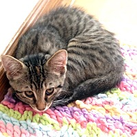 Adopt A Pet :: Hope - 3 Legged Love Kitten - Rochester, NY