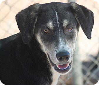 Shepherd (Unknown Type)/Labrador Retriever Mix Dog for adoption in Hooksett, New Hampshire - Grotto