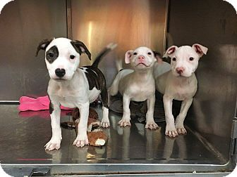 Pit Bull Terrier Mix Puppy for adoption in New Orleans, Louisiana - Pit Puppies