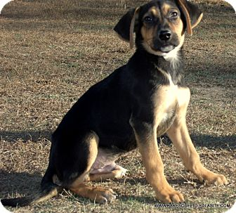German Shepherd Dog Mix Puppy for adoption in parissipany, New Jersey - KENTUCKY/ADOPTED