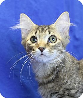Maine Coon Kitten for adoption in Winston-Salem, North Carolina - Figaro