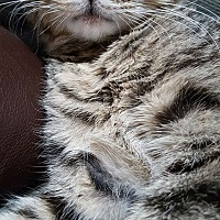 Adopt A Pet :: Delphine - New York, NY