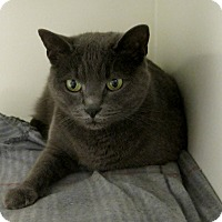 Russian Blue Cat for adoption in Georgetown, Texas - Abby