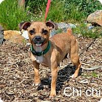 Adopt A Pet :: Chi Chi - Yreka, CA
