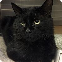 Adopt A Pet :: Shorty-I'd love a quiet home - Manchester, NH