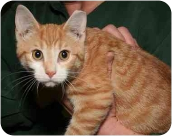 Domestic Shorthair Kitten for adoption in Cincinnati, Ohio - Duncan