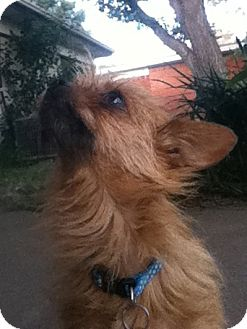 Cairn Terrier/Terrier (Unknown Type, Small) Mix Dog for adoption in Arlington, Texas - Catlina