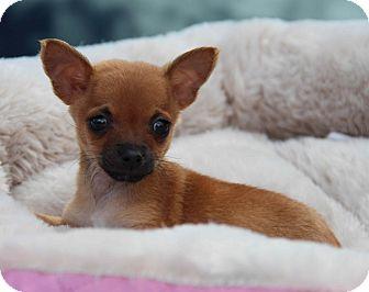 Chihuahua/Dachshund Mix Puppy for adoption in Yuba City, California - Bambi