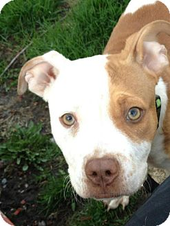 Pit Bull Terrier Mix Puppy for adoption in Chicago, Illinois - DAISY