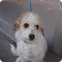 Terrier (Unknown Type, Small) Mix Dog for adoption in Corona, California - Mindi