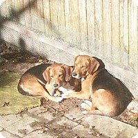 Beagle/Basset Hound Mix Dog for adoption in Ventnor City, New Jersey - BUGS & DAFFEY