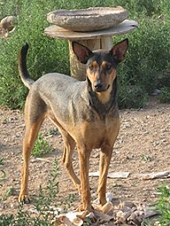 Shepherd (Unknown Type)/Doberman Pinscher Mix Dog for adoption in Santa Fe, New Mexico - Queen