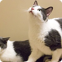 Adopt A Pet :: Brothers Elwood and Hank - Chicago, IL