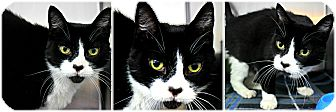 Domestic Shorthair Cat for adoption in Forked River, New Jersey - Felix