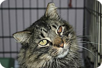 Maine Coon Cat for adoption in New Richmond,, Wisconsin - Little Mini