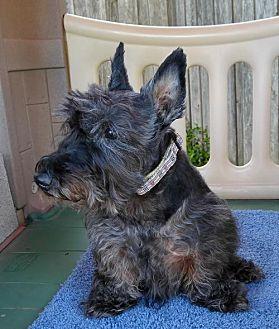Scottie, Scottish Terrier Dog for adoption in Dallas, Texas - MacTavish (16)