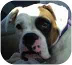 Boxer Dog for adoption in Sunderland, Massachusetts - Gustoff