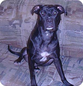 Labrador Retriever/Boxer Mix Dog for adoption in Montreal, Quebec - Jacob