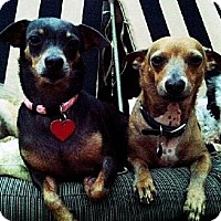 Chihuahua Mix Dog for adoption in Downey, California - Bean