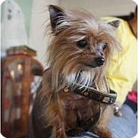 Adopt A Pet :: Starlet - Toluca Lake, CA