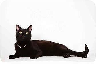 Domestic Shorthair Cat for adoption in New York, New York - Moby