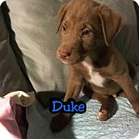 Adopt A Pet :: Duke - Marlton, NJ