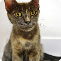 Domestic Shorthair Cat for adoption in East Smithfield, Pennsylvania - Gigi