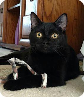 Domestic Shorthair Kitten for adoption in St. Louis, Missouri - Little Brother