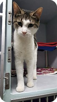 Domestic Shorthair Cat for adoption in Cody, Wyoming - Magnolia