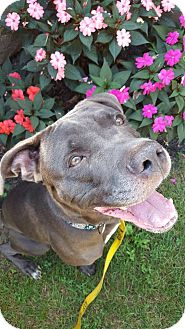 Weimaraner/Labrador Retriever Mix Dog for adoption in Bloomfield, New Jersey - Pharaoh
