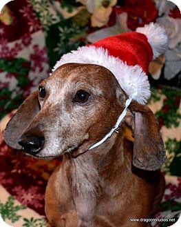 Dachshund Dog for adoption in Spokane, Washington - Cooper, 9, dapple, $250 fee