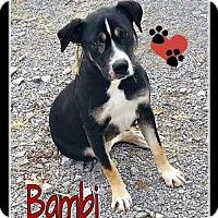 Adopt A Pet :: Bambi - Marion, KY