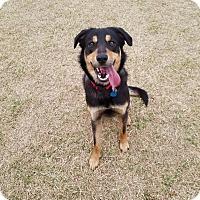 Adopt A Pet :: Shylo - oklahoma city, OK