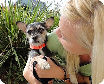 Terrier (Unknown Type, Medium)/Chihuahua Mix Dog for adoption in Mission Viejo, California - Darla