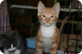 American Shorthair Kitten for adoption in Foster, Rhode Island - Patrick