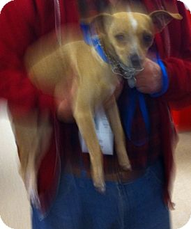 """Chihuahua Mix Dog for adoption in Loudonville, New York - Chico (aka """"Bobby"""")"""