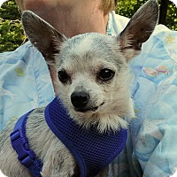 Adopt A Pet :: *Mr. Jiggers - PENDING - Westport, CT