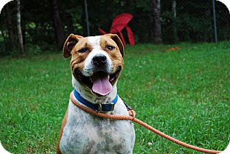 American Pit Bull Terrier Mix Dog for adoption in Farmington, Maine - Rogue
