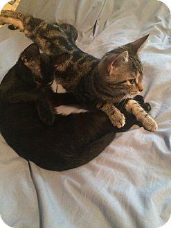 Domestic Shorthair Kitten for adoption in Carlisle, Pennsylvania - Mary