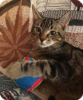 Domestic Shorthair Kitten for adoption in Merrifield, Virginia - Kalamata
