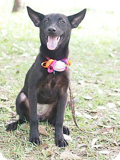 Shepherd (Unknown Type)/Labrador Retriever Mix Puppy for adoption in San Mateo, California - Paula